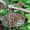浜松市中区でハチの巣を駆除してきました