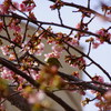 孝行ドライブ熱海桜編④熱海桜とメジロとの格闘