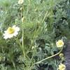 春の草花(2) カモミールの花が咲き始めた