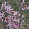 陽光桜が咲いていた