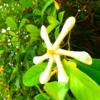 クチナシの花 西表島の植物