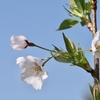 柑橘の収穫終了&熊野神社の満開の桜&初めて咲いた「くーの桜」♪