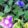 夏の顔の花     朝…昼…夕…夜