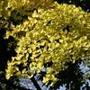 色づく銀杏の葉