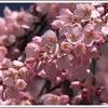 刈谷桜まつり 亀城公園、洲原公園