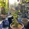 クレマチスの植え付け&植え替え 木製花台を買いました!