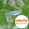 (めだか)よりなし(無選別)青ヒカリメダカ/青ひかりめだか(5匹)