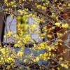 京都・花園 - 蝋梅香る妙心寺 天球院