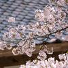 また桜の写真なんですが。XF50-140mmが大変お気に入りです。