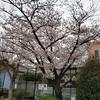 桜と竹内まりやさんのことなど
