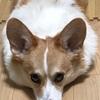 【We ♡ コーギー】室内犬のケージやトイレはどんなものが良い?どこに置けばよい?