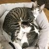 先住のオス猫のお乳を吸う子猫ちゃみ!【動画あり】