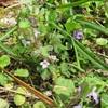 カキドオシと 似た花たち