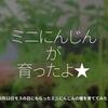 1016食目「ミニにんじんが育ったよ★」3月12日モスの日にもらったミニにんじんの種を育ててみた!