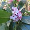 沈丁花の咲くころ