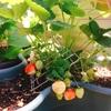 夏野菜の家庭菜園始めました☆しかし、ゴーヤの種まきに失敗。。。