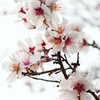 アーモンドの花の写真(画像)