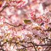 花さんぽ『あたみ桜と糸川桜まつり・・・・・・とメジロまつり』