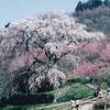 又兵衛桜(4月上旬~中旬)