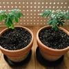 【スパイス栽培記vol.4】2本のカレーリーフ、成長の差が顕著に…