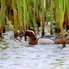 谷津干潟に滞在している旅鳥シマアジ