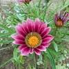 ガザニアの花。