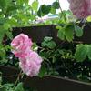 バラが咲きました♪