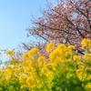春を先取り!「茨城県フラワーパーク」で河津桜と菜の花のコラボレーション!
