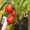 [今日の園芸]え、遅すぎた?野菜の収穫タイミング