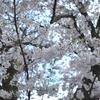 Nikonのデジイチ「D3000」で2017年4月17日までに撮影した写真です。ソメイヨシノが終わりヤエザクラやヤマブキソウが咲いています