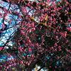 旧古川庭園の紅梅