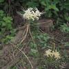 彼岸花.      Cluster-Amaryllis