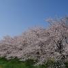「桜」のトンネル。