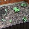 【畑日記 秋どれ胡瓜】選抜終了と害虫対策。時期外れのオクラも開始しました。