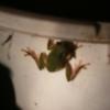 蛙の鳴き声と雨?
