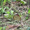 庭に来た蝶