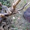 老木に梅一輪や疫越へて