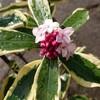 斑入り沈丁花(フイリジンチョウゲ)