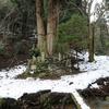 日本一高い京都花脊の三本杉