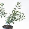 え?鉢植えの木はベランダでも育てられる!?やさしい育て方を解説!