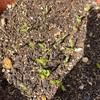 芽が大きくなってきたよ^ ^