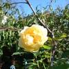 今朝のバラたち
