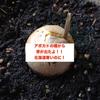 【アボカド栽培in北海道】芽が出たよ!!植えてから1ヶ月と1週間くらい。