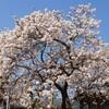 ミョウショウジサクラ ・ 明正寺 ( 2013-03-12 )