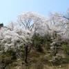 兵庫県川西市)黒川・桜の森、満開。←能勢電鉄妙見口駅。