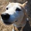 飼い主さんの代わりにお伊勢参りをした「おかげ犬」と日本人のお話