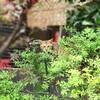 谷根千の看板ネコ お馴染みのエキゾチックとらネコさん 紅葉バージョン