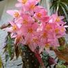 木立ベゴニアの花 2013秋
