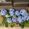 我が家の紫陽花クロニクル