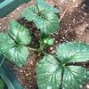 よつぼしイチゴの花芽